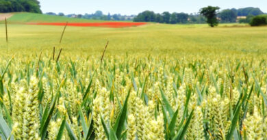 Agricultural biodiversity and transgenic plants